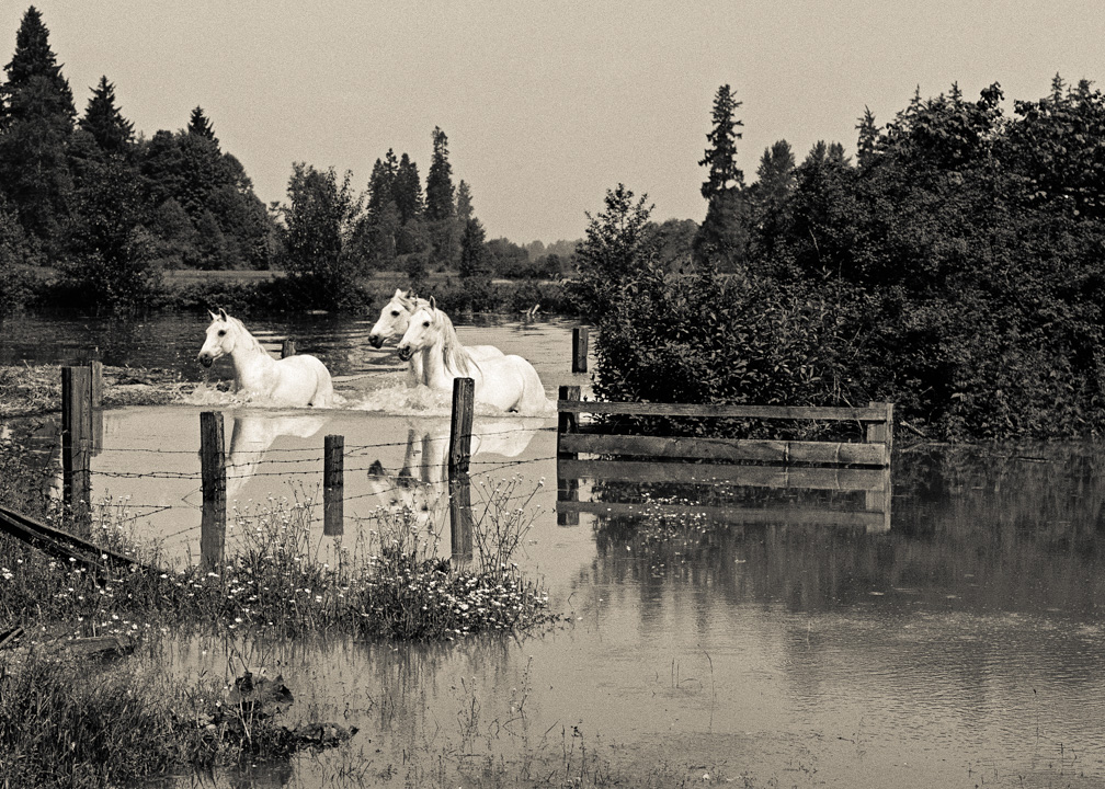 White Horses in the Fraser Valley flood of 1948